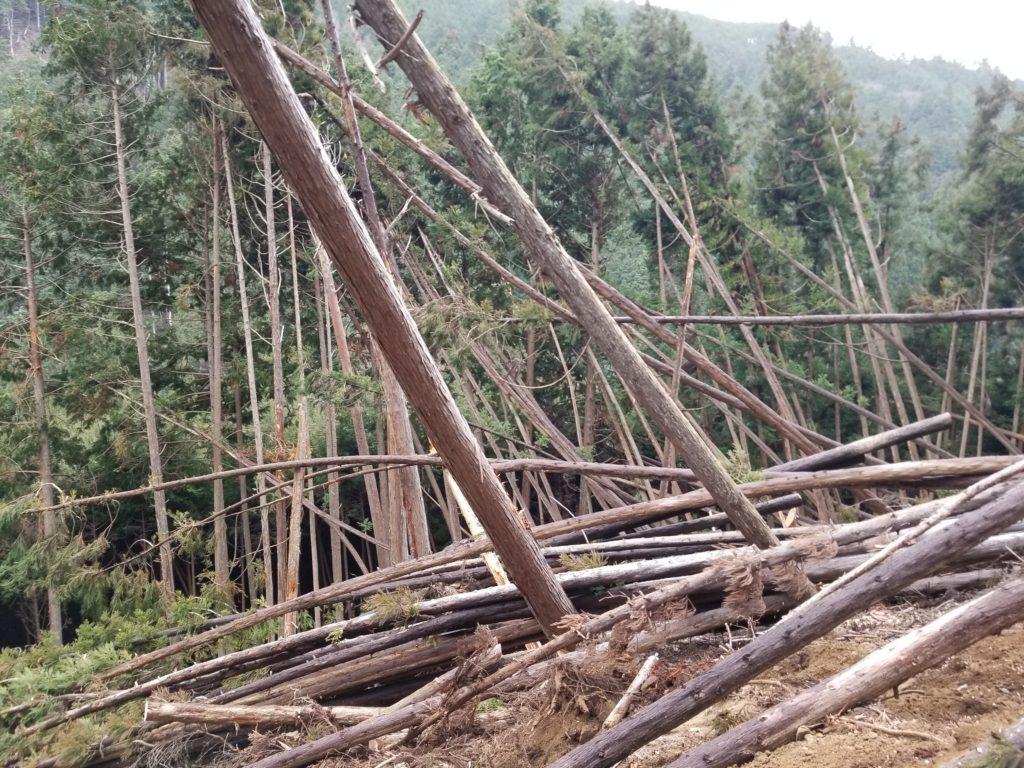 風で倒れた丸太林